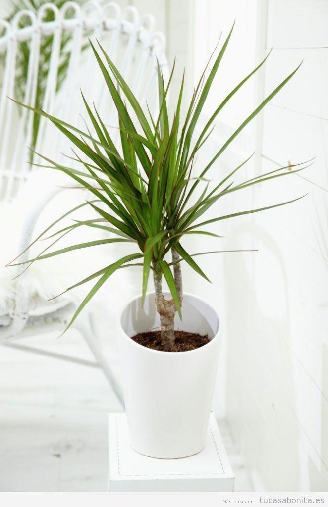Plantas para el baño, dracaena